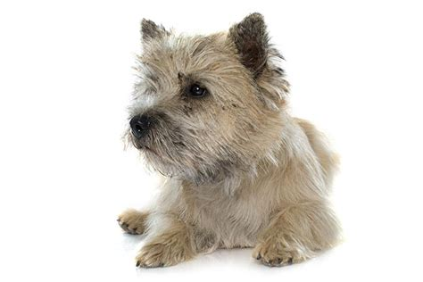 Cairn Terrier Dog Breed Information