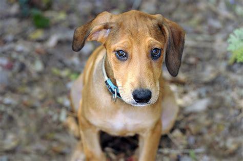treating dogs  ear hematomas petmeds pet health blog