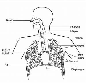 Human Respiratory System Diagram For Kids 5 Best Images Of Upper And Lower Respiratory System