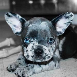 French Bulldog - Playful and Smart | French bulldogs ...