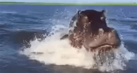 Hippo Chases Boat Underwater by Hippo Chases And Lunges At A Safari Boat