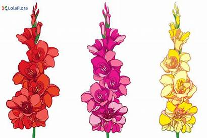 Gladiolus Flower August Birth Flowers July Animation
