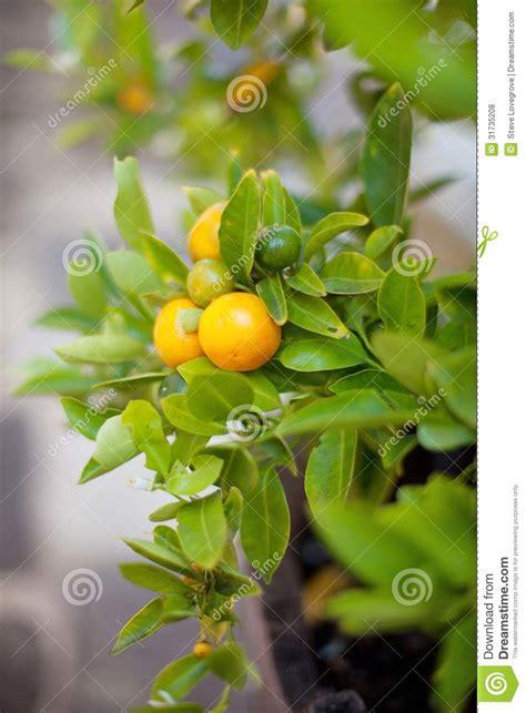 Orange Tree Royalty Free Stock Photos Image 31735208