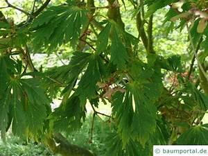 Ahorn Rote Blätter : japanischer feuer ahorn acer japonicum 39 aconitifolium 39 ~ Eleganceandgraceweddings.com Haus und Dekorationen