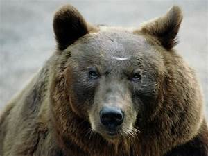 Bears Are Going Extinct