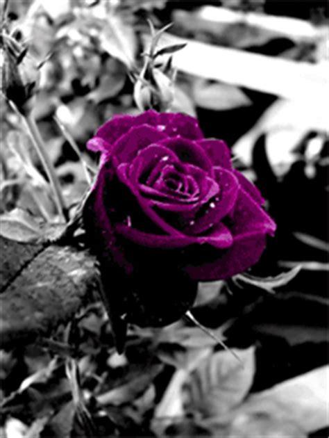 immagini  gif animate  rose viola gifmania