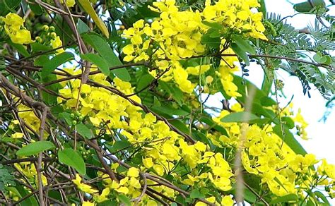 tree with yellow flowers island woman s culebra paradox in paradox