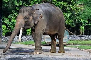 Sumatran elephant - Wikipedia
