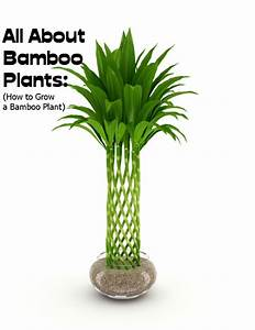 All About Bamboo Plants   How To Grow A Bamboo Plant