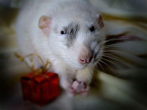 rats as pets pet rats are epic rats pinterest