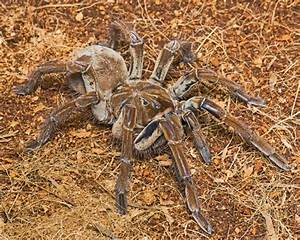 Goliath Birdeater: Images of a Colossal Spider