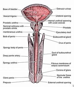 The Male Anatomy Causes  Symptoms  Treatment
