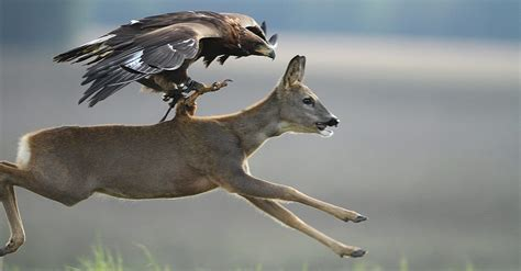 Video shows trained Golden Eagle hunting deer - GetZone