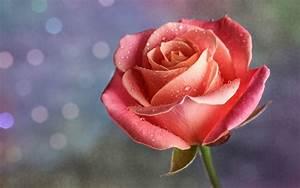 water drop on pink rose wallpaper - Download Hd water drop ...