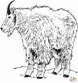 Goat Coloring Mountain Pages Realistic Rocky Goats Printable Cute Pygmy Drawing Dot Popular Categories sketch template