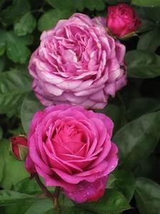 Rose Mein Schöner Garten : alternative zur heidi klum rose gesucht page 2 mein ~ Lizthompson.info Haus und Dekorationen