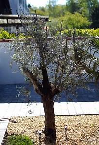 Baum Fällen Kosten Forum : olivenbaum kauf auspflanzung der exoteng rtner ~ Jslefanu.com Haus und Dekorationen