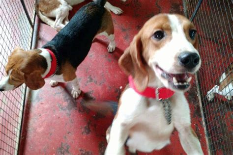 beagles rescued animal testing facility