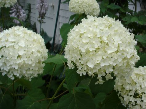 hydrangeas for shade shade plants mel s green garden