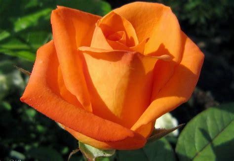 jenis jenis bunga mawar yang tumbuh di daratan indonesia