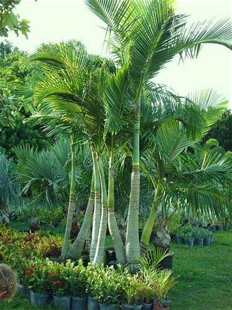 bamboo palm tree google search gardens  outdoors