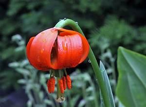 Lilie Topfpflanze Kaufen : lilium carniolicum krainer lilie in meinem alpinum die ~ Lizthompson.info Haus und Dekorationen