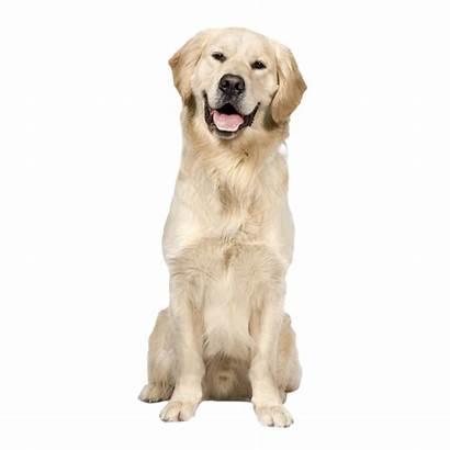 Golden Dog Retriever Transparent Retrievers