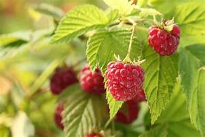 How To Grow Raspberries In Your Yard