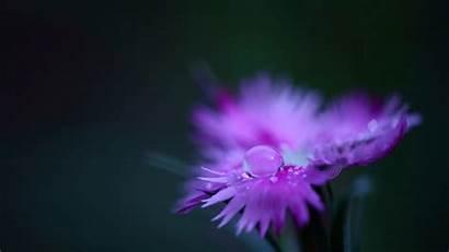 Flower Purple Flowers Water Wallpapers Cool Backgrounds