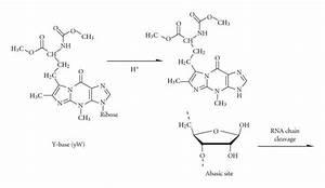 Depurination Of Wybutosine Base  Yw  Y