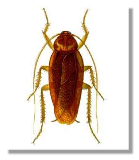 cafard cuisine identification insectes dans ma maison