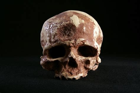 cro magnon skull homo sapiens hominid long anthr 2511 study guide definition face side analysis