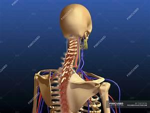 Rear View Of Human Spine And Scapula  U2014 Cervical  Shoulder