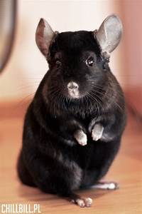 196 best images about chinchilla love on Pinterest ...