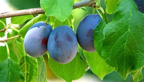 purple leaf trees identification plum tree identification garden guides