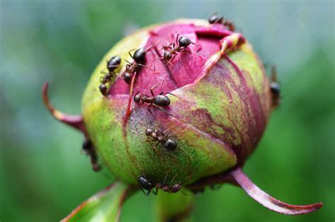 ameisen an pflanzen ameisen an der pfingstrose 187 was machen sie da