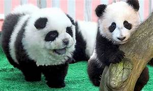 Is it a panda or a dog Animal lovers go wild for adorable creatures