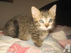 munchkin cat for nc munchkin kittens legged breed of cat