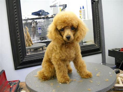 Miniature Poodle Grooming