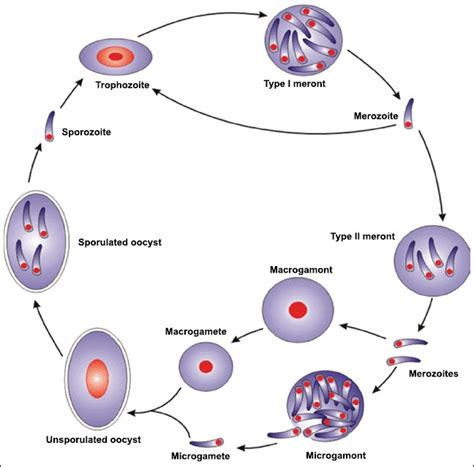 Cryptosporidium Life Cycle  Wwwpixsharkcom Images