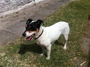 Chilean Fox Terrier Info, Temperament, Puppies, Pictures