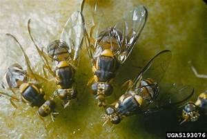 Oriental fruit fly (Bactrocera dorsalis) | Factsheet Images