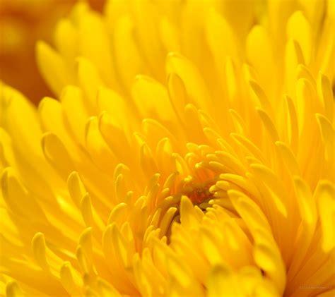 chrysanthemum flowers wallpapers