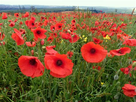 memorial poppy flower poppies and poetry for memorial day fables and flora