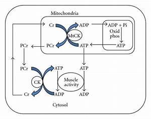 creatin monohydrat wikipedia