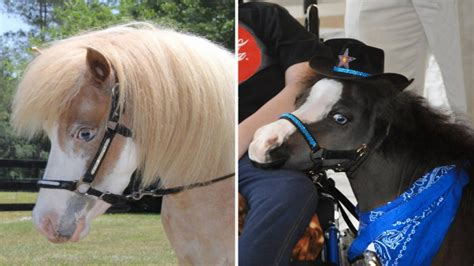 miniature horses   therapy  victims  mass