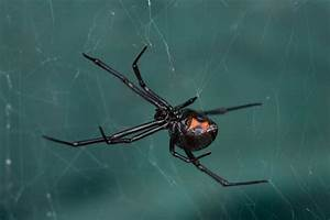 This Is Why Male Black Widow Spiders Prefer Younger Women