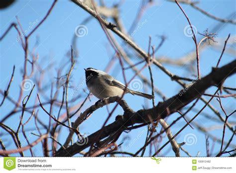 black capped chickadee stock photo image  ornithology