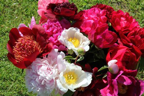 Peonijas šogad zied agrāk - Jauns.lv