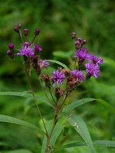 vernonia ironweed care in gardens information on growing